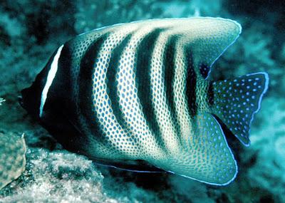 Jenis - Jenis Ikan Air Laut Ekonomis Penting [Bagian 17]