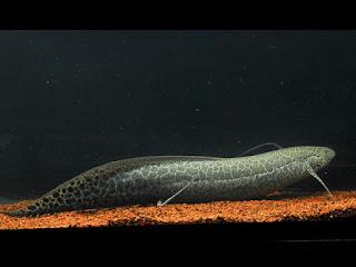 Ethiopian Lungfish Pictures