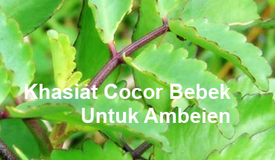 Khasiat cocor bebek untuk Ambeien