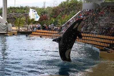 Orca bei einer Show im Loro Parque