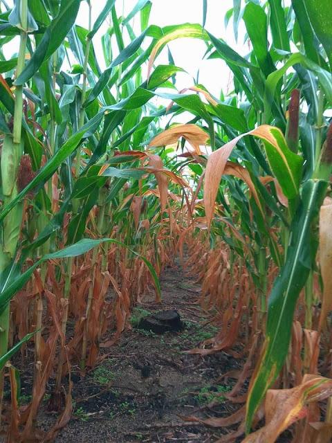 Daun jagung di bagian pangkal daun mengalami nekrosis dan klorosis