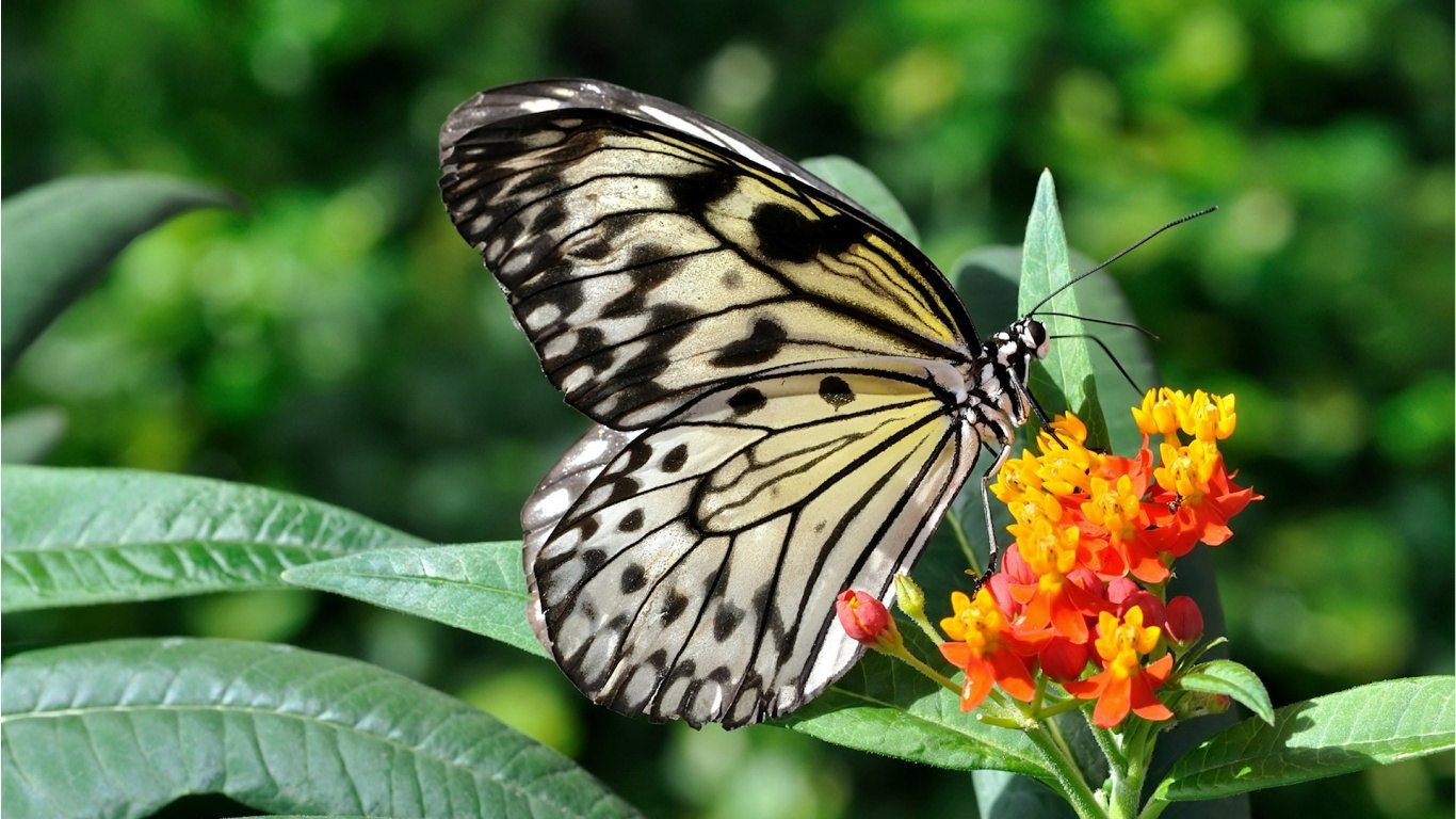 Butterfly HD Wallpapers