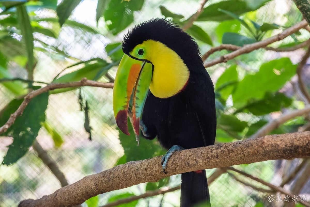 哥斯大黎加 Herpetological Refuge Costa Rica 大嘴鳥 巨嘴鳥