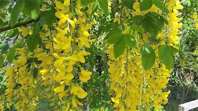 yellow flowers of Laburnum x watereri 'Vossii'