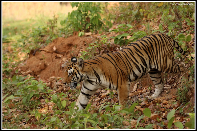 Royal Entry of Tigress on the road, Kanha National Park