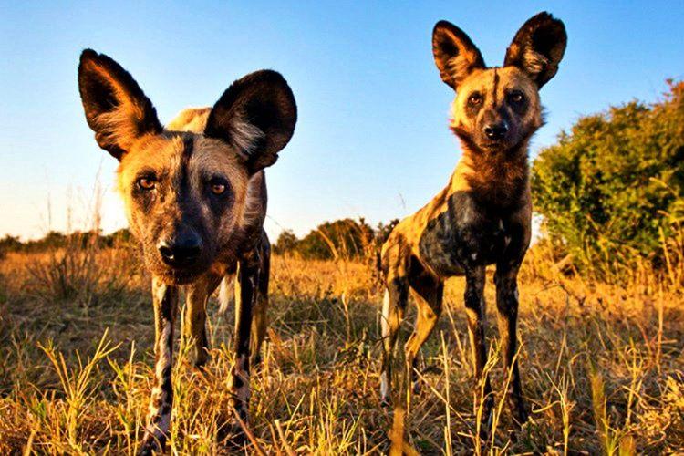 Avustralya'da ortaya çıkan bir köpek türü olan dingolar yalnızca o kıtaya özgü hayvanlardır.