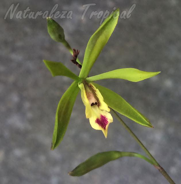 Detalles de la flor de la orquídea Encyclia oxypetala