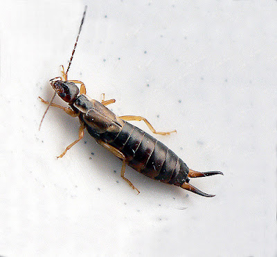 cool facts about earwigs