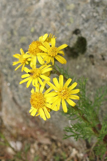 Séneçon à feuilles d'aurone - Jacobaea abrotanifolia - Senecio abrotanifolius var tirolensis