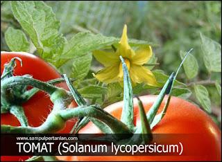 Standar mutu Tomat Segar