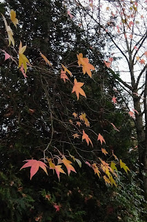 Mindy Anderson's autumn leaves, West Seattle, Washington