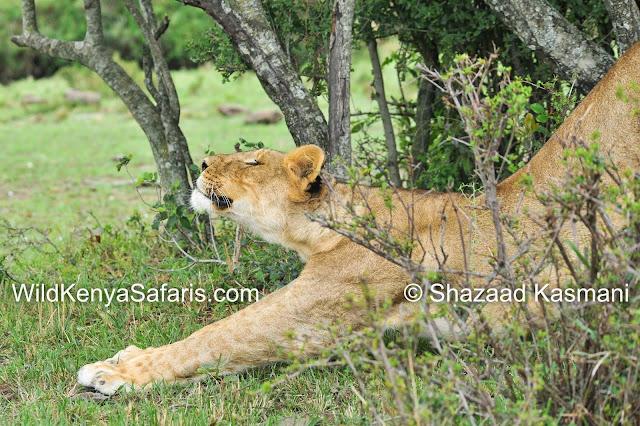 Lioness Stretching, Kenya Safari, Masai Mara, Tsavo, Amboseli, Diani Beach Safari, Wild Kenya Safaris, Dream Kenya, Wildlife Kenya Safari, www.wildkenyasafaris.com