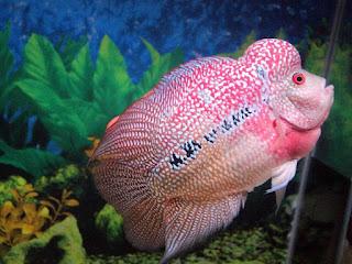 cara budidaya ikan hias neon tetra