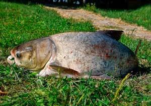 пресноводная рыба семейства карповых 6 букв