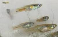ikan betina untuk budidaya ikan guppy