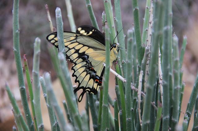 Papilio rumiko