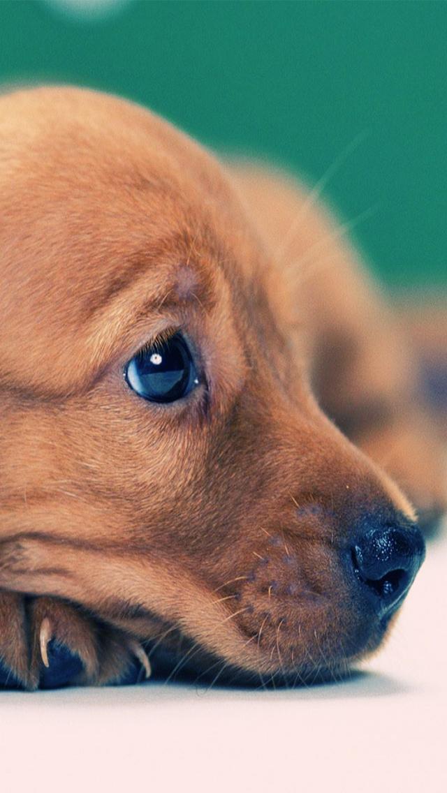 Puppy Wallpaper Iphone 5