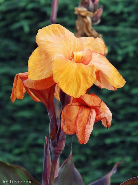kwiat kanny