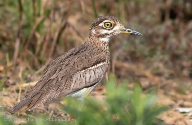 Spotted Thick-Knee in the Table Bay Nature Reserve / Woodbridge Island