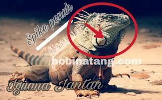 Cara Membedakan Jenis Kelamin Iguana Jantan dan Betina
