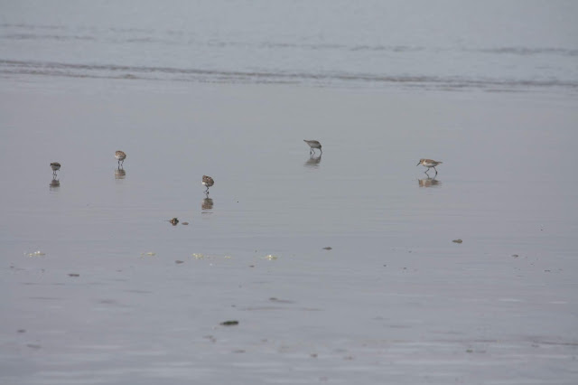 Sandpipers finding some nibbles at Cannon Beach in Oregon.
