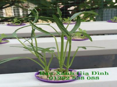 giàn trồng rau thủy canh - rau muống trồng sau thủy canh sau 4 ngày gieo hạt. giá giàn trồng rau thủy canh tại hcm