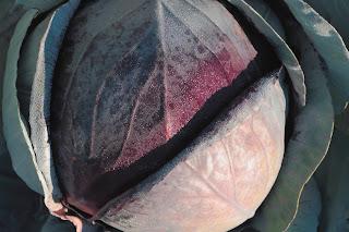 Czerwona główka kapusty