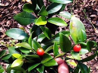 cedar bay cherry fruit images