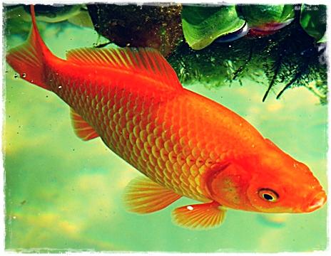 10 Ciri-Ciri Ikan Mas dan Habitatnya
