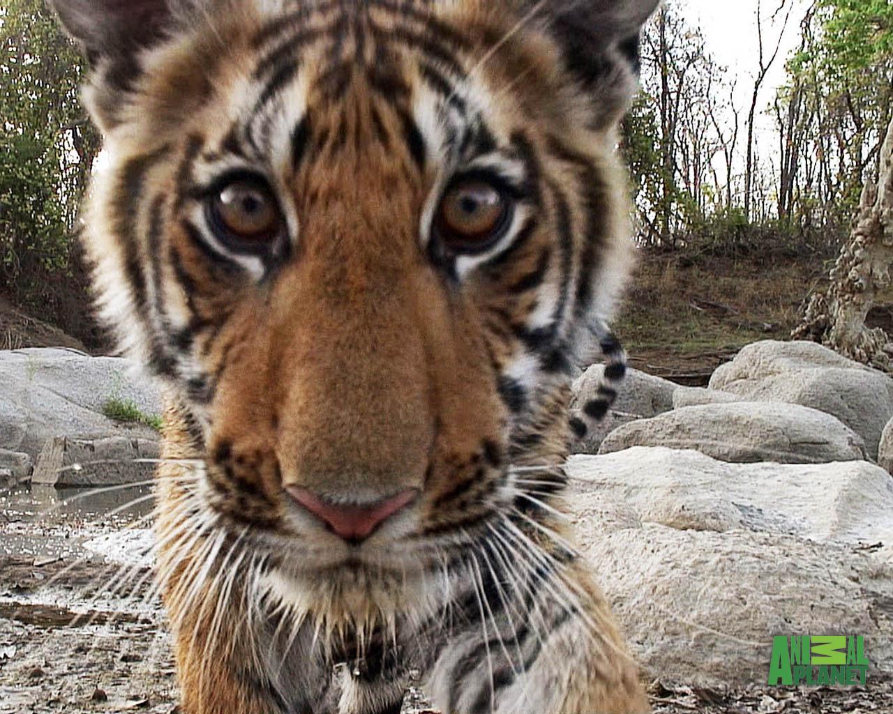 jungle animal tiger wallpapers animals hu spy links