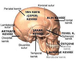 Kafatası Kemikleri