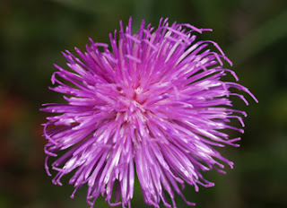 (Cirsium helenioides)
