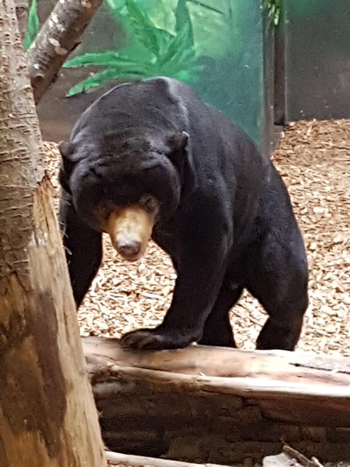 A black bear facing towards the camera climbing slightly onto a branch