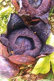 Bunga fadma