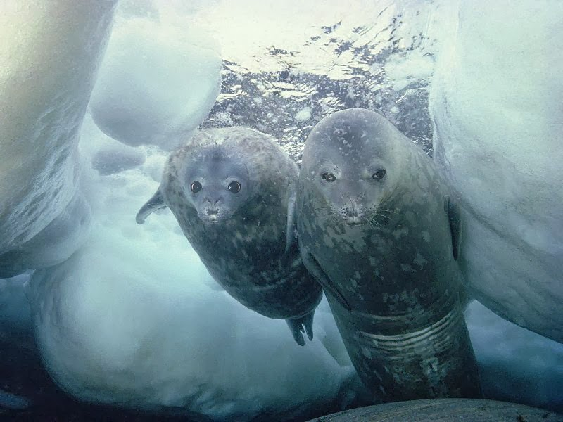 Weddell seals underwater