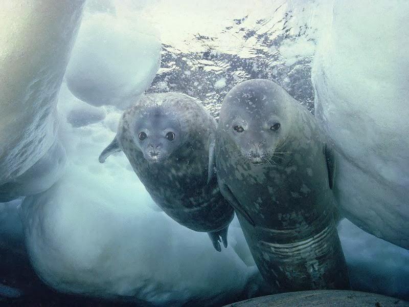 Weddell seals underwater