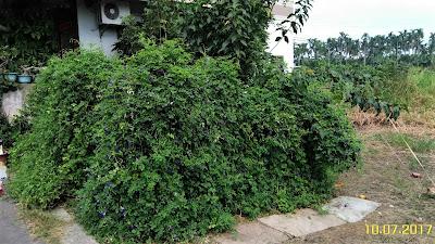 育聖園地-蝶豆花保存方法-小小園地