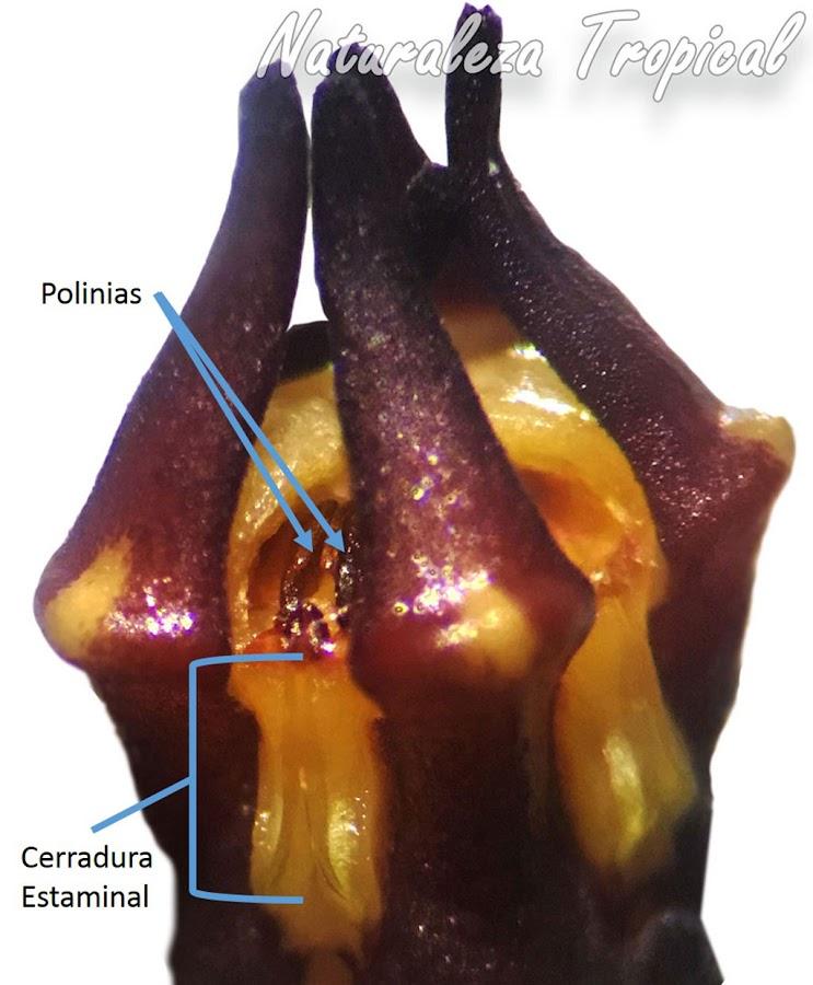 Morfología del polinarium de una especie del género Huernia