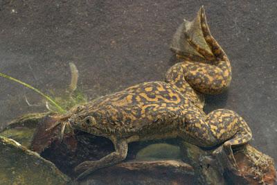 rana africana de garras Xenopus laevis