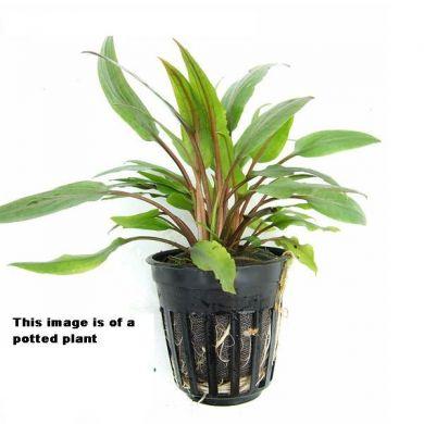 cây thủy sinh tiêu thảo lá muỗng dễ trồng