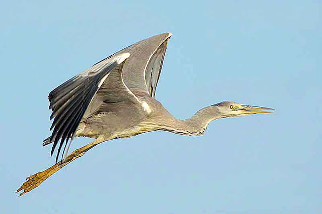 Grey Heron, Ardea cinera, bird