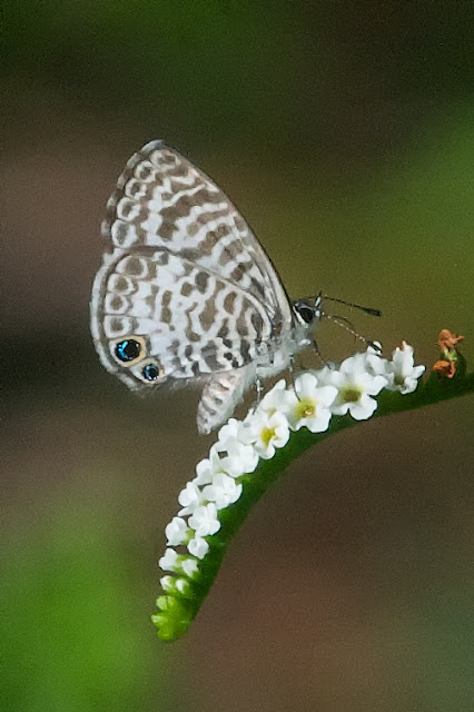 Cassius Blue (Leptotes cassius)
