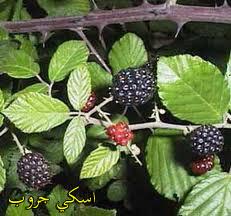 ورق التوت بديل الانسولين Mulberry paper is an alternative to insulin