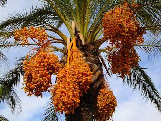 pohon-kurma-di-indonesia.jpg