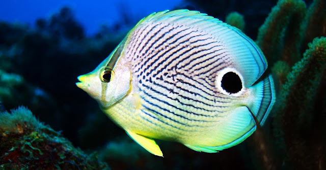 Gambar Ikan Butterfly Fish - Budidaya Ikan