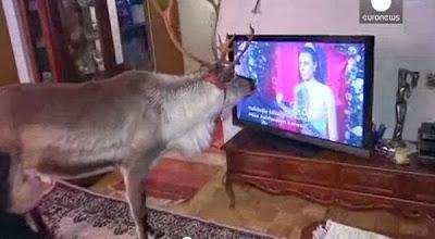 Siapa bilang drama TV hanya disukai oleh ibu Ada Rusa Kutub Yang Gemar Nonton TV