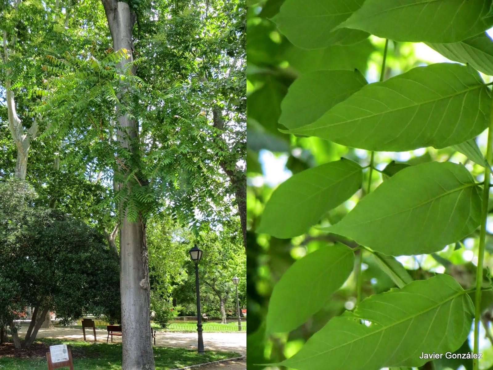 Parque del Retiro. Madrid. Ailanto / Ailanthus