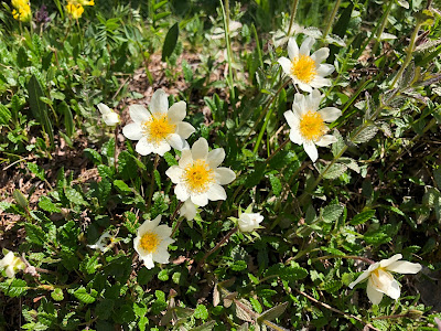 [Rosaceae] Dryas octopetala – White Dryas (Camedrio alpino).