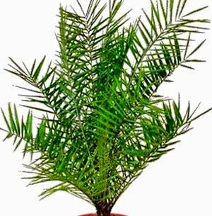 Dwarf Date Palm(Phoenix roebelenii air purifying plant