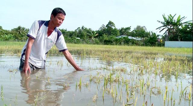 ĐBSCL: Lúa ngập úng, heo chết, cá nuôi thoát ra sông vì triều cường